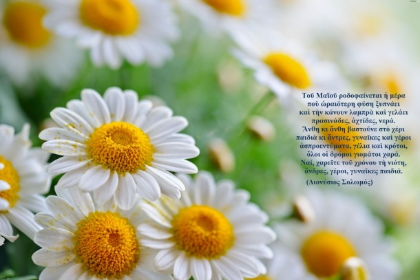 camomile_flowers_new111